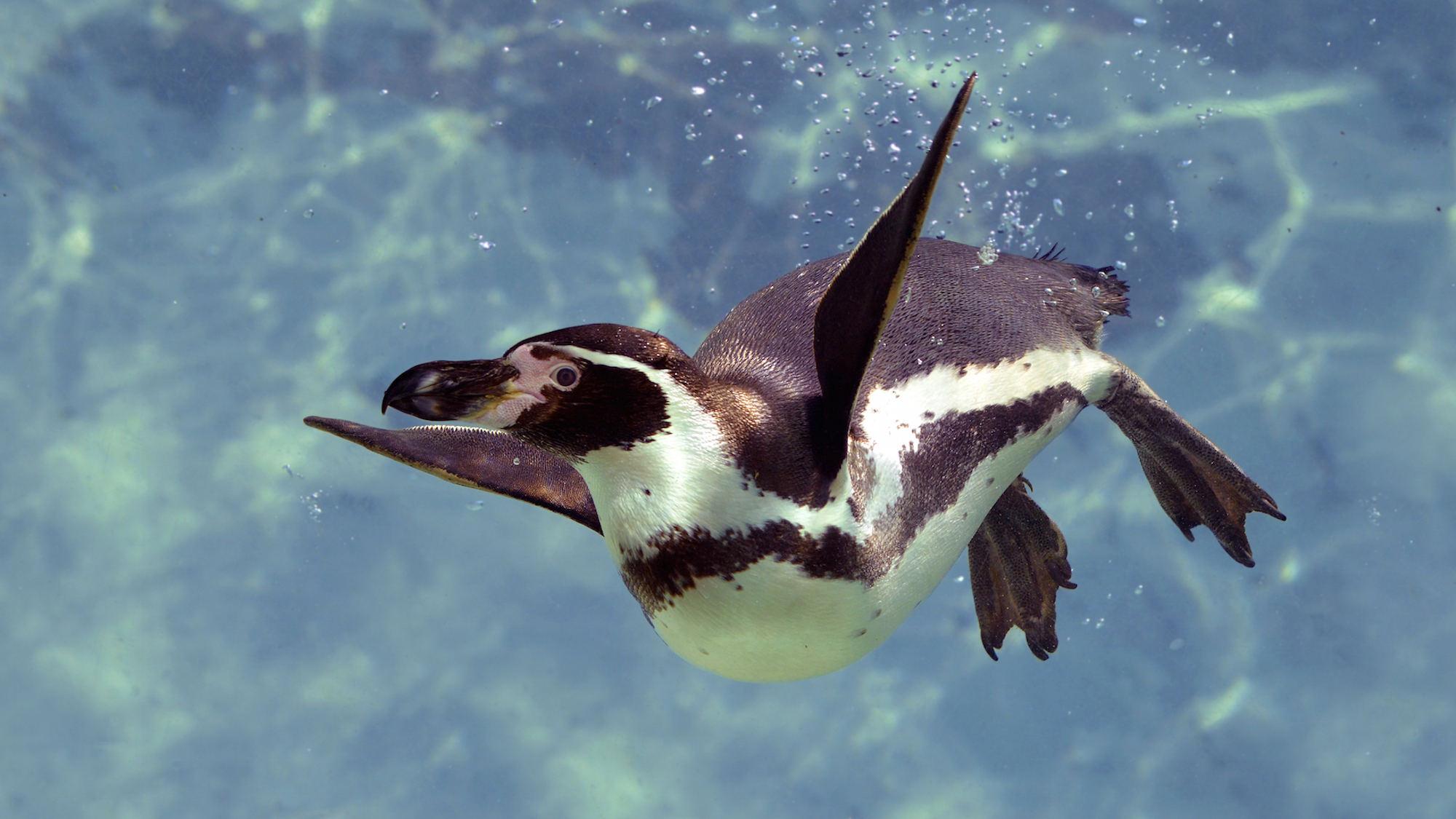 Harewood Penguins